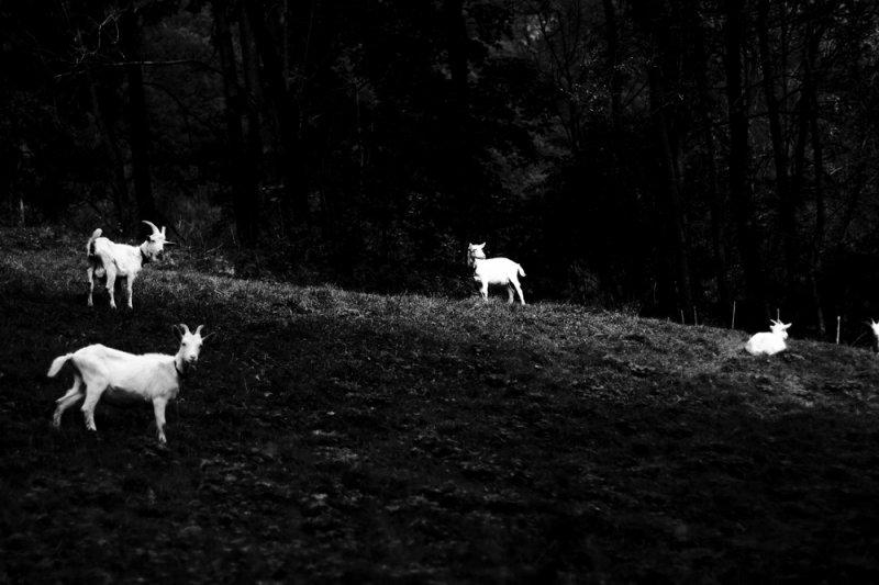 5 capre - anno 2016