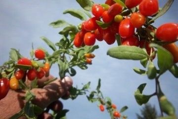BACCHE MIRACOLOSE DA TENERE IN DISPESA - By daveeza from okanagan, canada (mongolian goji berries Uploaded by JohnnyMrNinja) [CC BY-SA 2.0 (http://creativecommons.org/licenses/by-sa/2.0)], via Wikimedia Commons