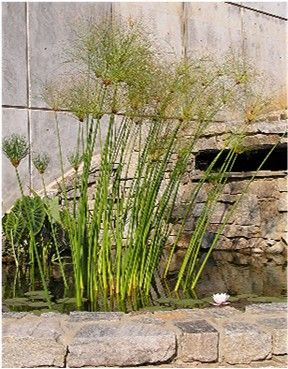 Plant_Papyrus - Jcwf from nl [GFDL or CC-BY-SA-3.0], via Wikimedia Commons