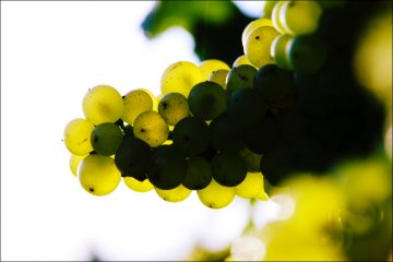 Chablis: aromi di chardonnay