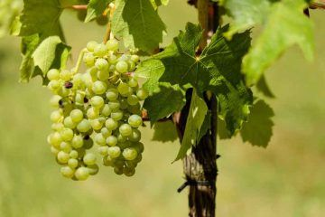vini-vitigni-alto-adige_cc0-public-domain_pixabay