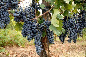 vino-casavecchia-uva