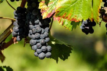 grapes-1696921_1920_via_Pixabay