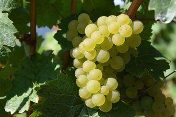 grape-1688607_1920_via_Pixabay