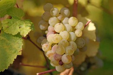 Riesling_grapes_leaves_[GFDL,-CC-BY-SA-3.0or-CC-BY-SA-2.5-2.0-1.0],-via-Wikimedia-Commons