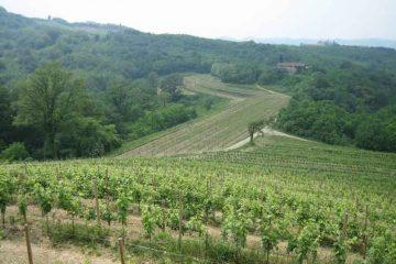 Vigneto di ribolla gialla in Friuli [Image--By-discosour-(Flickr--Friuli-029-Cantine-Aperte---Rocca-Bernarda)-[CC-BY-SA-2.0],-via-Wikimedia-Commons]